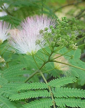 Mimosa silk tree eat the weeds and other things too mimosa blossoms and leaves mightylinksfo